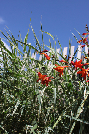 Ornamental grasses and Crocosmia, a small orange flowering plant in the iris family, Iridaceae, a deciduous perennial plant  Set on a portrait format against a blue sky background