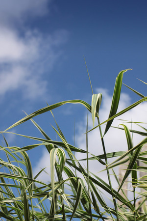Green and white ornamental garden grasses  Variety Phalaris arundinacea var - Picta  Set on a portrait format against a blue sky background with white clouds