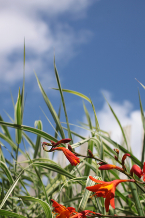 Crocosmia, a small orange flowering plant in the iris family, Iridaceae, a deciduous perennial plant growing in front of some ornamental grasses  Set on a portrait format against a blue sky background with white clouds