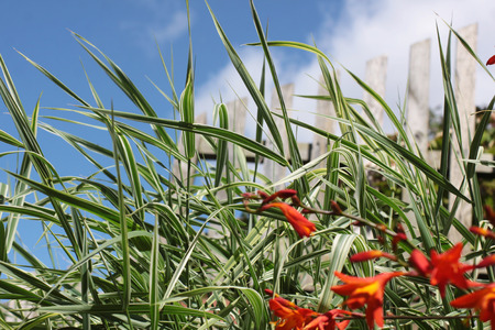 Crocosmia, a small orange flowering plant in the iris family, Iridaceae, in soft focus growing in front of some ornamental grasses  Set on a portrait format against a blue sky background with white clouds
