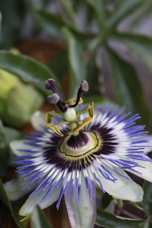 Close up of a passion Fruit Flower - Passiflora Edulis  set on a portrait format showing the detailed middle stem of the flower