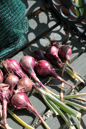 A group of onion bulbs, Red Baron variety, set on a wooden garden bench  Stock Photo