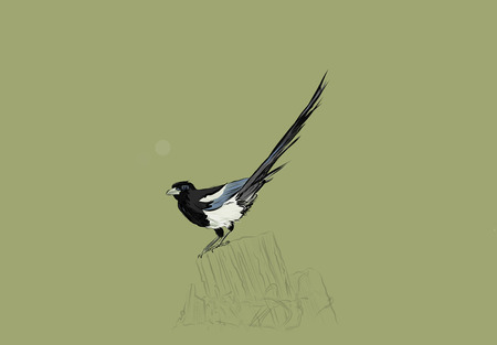 magpie: A hand drawn vector illustration of a single magpie on a fence post. Stock Photo