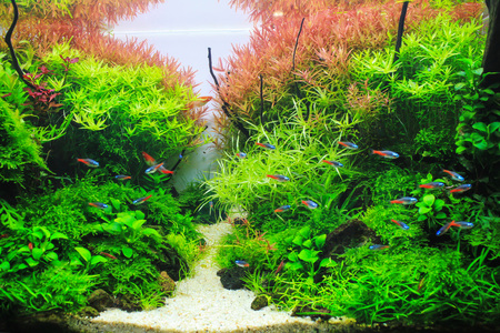 Beautiful Planted Aquarium. Red Aquatic plant surrounded by tropical fish such as neon tetra