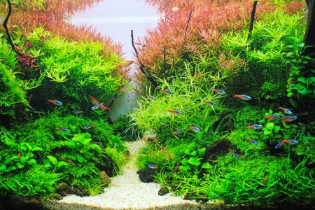 Hermoso acuario plantado. Planta acuática roja rodeada de peces tropicales como el neón tetra