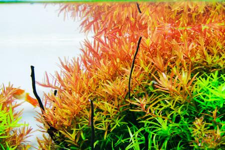 Red Rotala Aquatic Plant