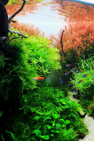 Koi Platy in planted tank