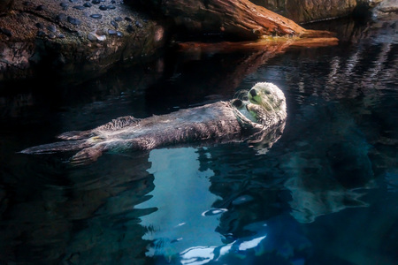 Sea otter (Enhydra lutris) floating in the water