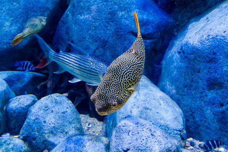 Giant puffer (Tetraodon mbu) and tankmates, Tiger fish and Frontosa cichlids