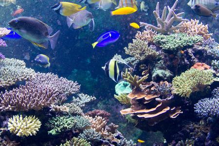 Moorish idol in SPS reef Tank, SEA Aquarium Stock Photo