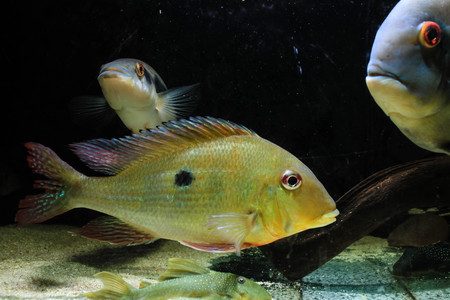 Eartheater Cichlid (Geophagus dicrozoster) Stock Photo