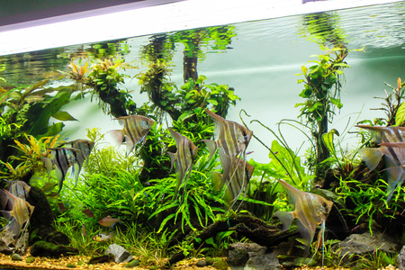 Schooling of freshwater angelfish in planted tank Stockfoto