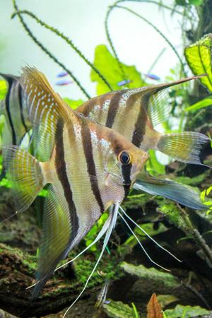 Santa Isabel Angelfish (Pterophyllum sp.) aka Red back altum