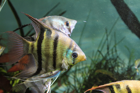 Leopolds Angelfish (Pterophyllum leopoldi) Stock Photo