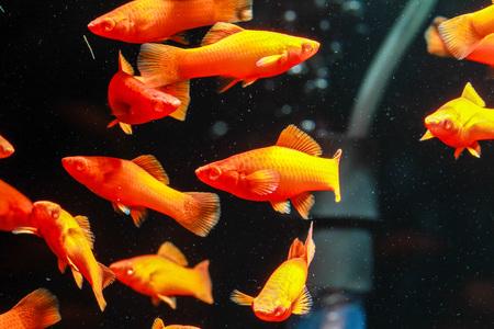 Albino red molly platy fish Stock Photo