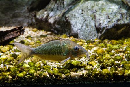 Emerald catfish (Brochis splendens)
