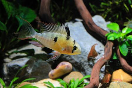 Bolivian Ram Cichlid (Mikrogeophagus altispinosus) a tropical fish