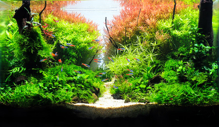 Wonderful red aquatic plant in beautiful planted aquarium