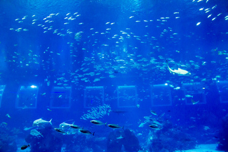 Schooling of fish such as sharks , rays and tuna swimming in very large tank, SEA Aquarium