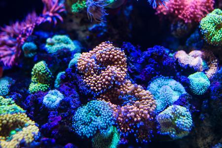 Colorful Ricordea florida Mushroom Coral Standard-Bild