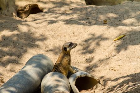 Meerkat(Suricata suricatta) keep watching dangerous