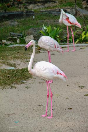 Flamingo walk around