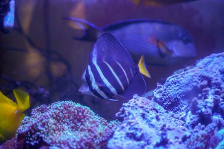 Sailfin tang (Zebrasoma veliferum) swimming in reef tank