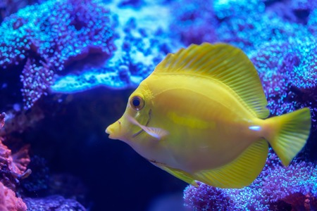 Yellow tang (Zebrasoma flavescens) swimming around coral reef