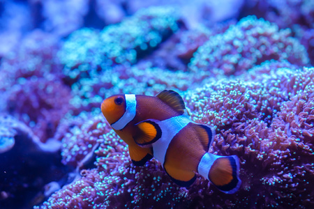 Ocellaris Clownfish (Amphiprion ocellaris) stay with Hairy Mushroom