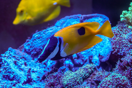 One spot foxface (Siganus unimaculatus) finding algae to eat in coral reef