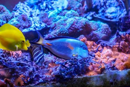 Sohal surgeonfish (Acanthurus sohal) swimmingwith yellow tang