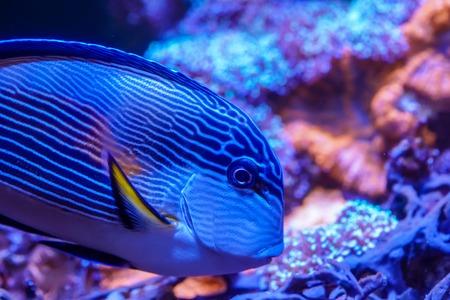 Sohal surgeonfish (Acanthurus sohal) swimming in reef tank