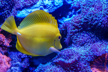 Yellow tang (Zebrasoma flavescens) finding something to eat