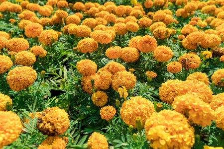 Blooming Mexican marigold or Aztec marigold (Tagetes erecta) beautiful yellow flower in the garden