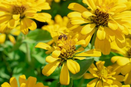 Close up of Yellow Zinnia flower
