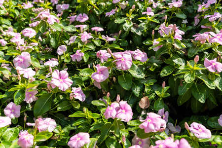 Rose periwinkle(Catharanthus roseus) on flowerbed