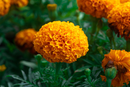 Close up of Blooming Mexican marigold or Aztec marigold (Tagetes erecta) beautiful yellow flower