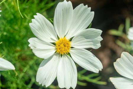 Close up of White Narrowleaf zinnia(Zinnia angustifolia) beautiful white flower