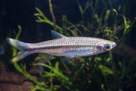 Silver Rasbora (Rasbora argyrotaenia)