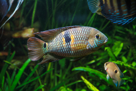 Yellow Acara Fish (Aequidens metae)