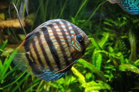 Heckel Discus Fish (Symphysodon discus)