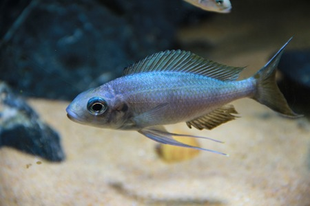 Blue Ventralis Ciclid (Ophthalmotilapia ventralis)