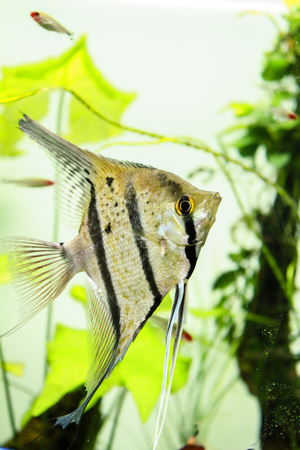 Peruvian Altum Angelfish from Rio Nanay, Peru. not a true altum angelfish this is commercial name. Stok Fotoğraf