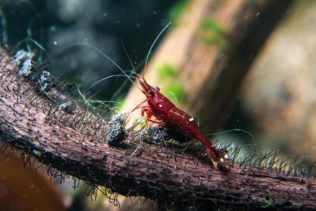 Sulawesi Shrimp (Caridina dennerli) Reklamní fotografie