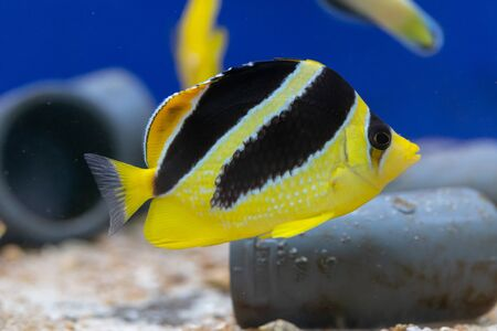 Mitratus Butterflyfish as known as Black and Yellow Butterfly Fish or Indian Butterflyfish (Chaetodon mitratus) origin from Maldives Stok Fotoğraf