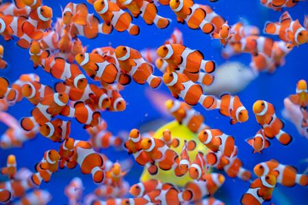 Schooling of Captive bred Ocellaris Clownfish (Amphiprion ocellaris)