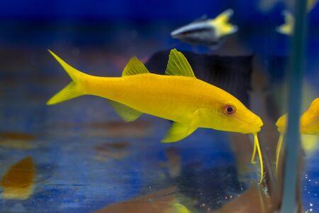 Yellow Goatfish (Parupeneus cyclostoma) swimming to something to eat