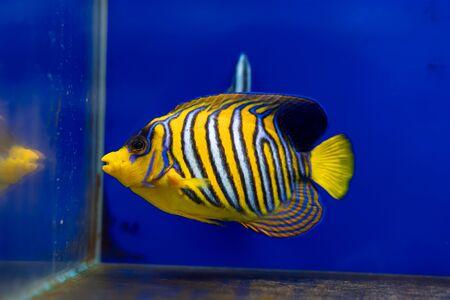 Sub-adult Regal Angelfish (Pygoplites diacanthus) Reklamní fotografie