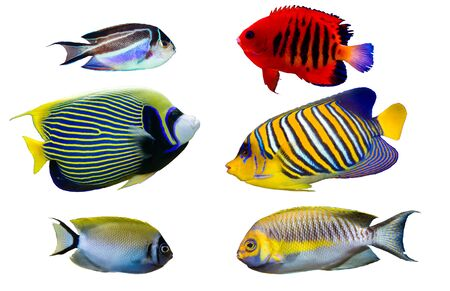 Set of Saltwater angelfish on white isolated background. Emperor, Flame, Bellus, Regal and Japanese swallowtail angelfish Stok Fotoğraf