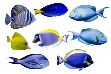 Various species of surgeonfish such as Blue, Red sea sailfin , Powder blue, Sohal, Yellow tang